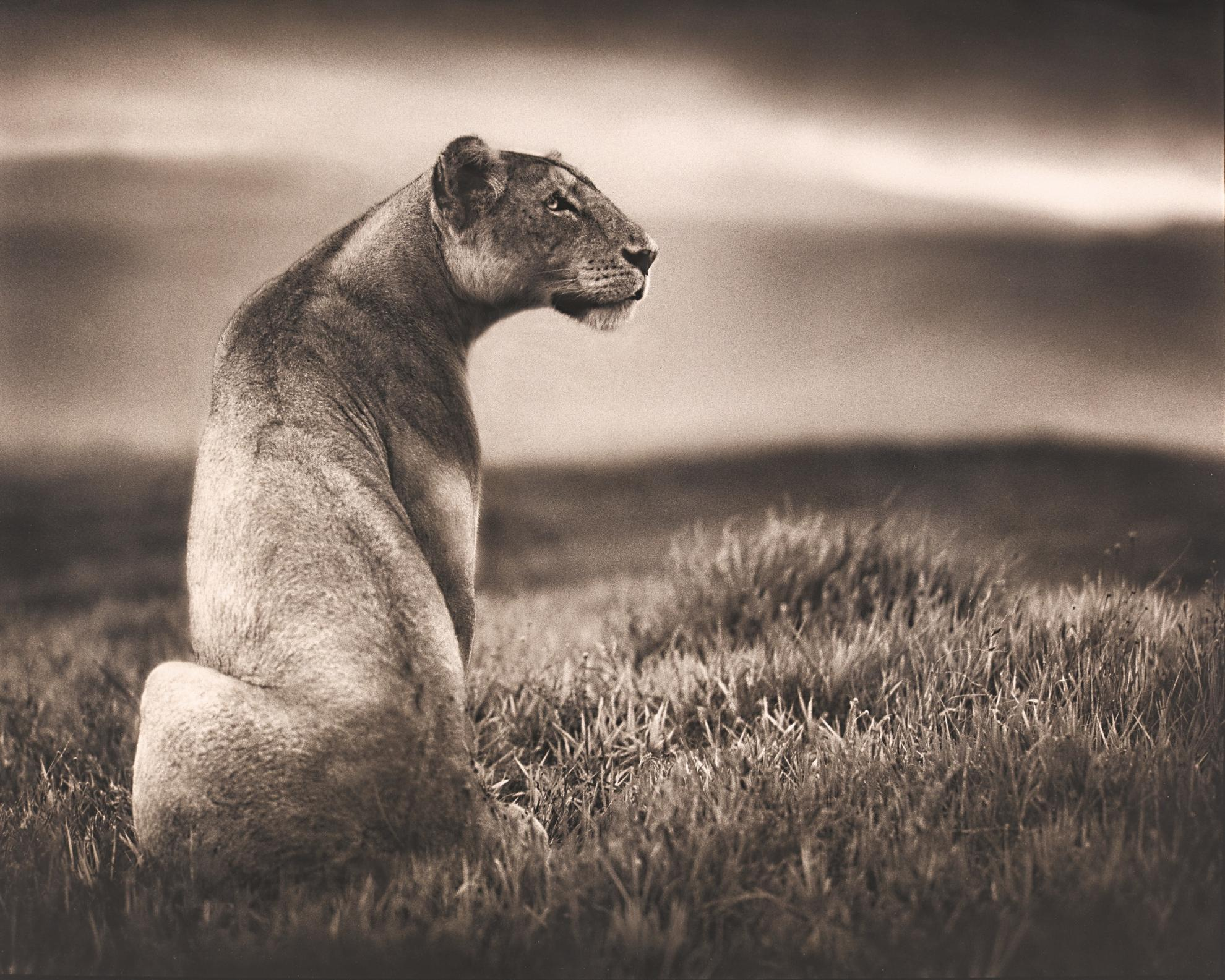 Nick Brandt-Lioness In Crater, Ngorongoro Crater, 2000-2000