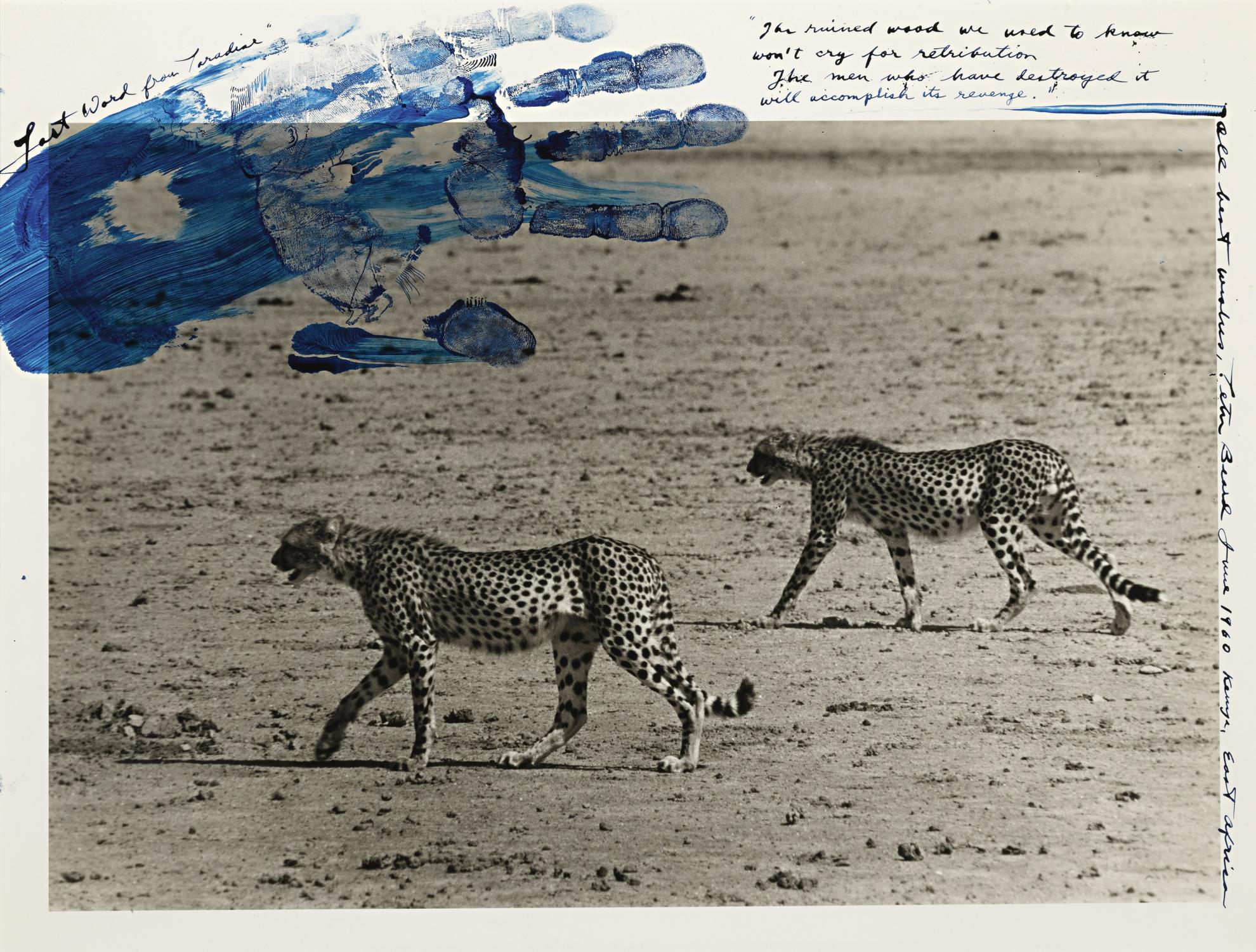 Peter Beard-Hunting Cheetahs-1960