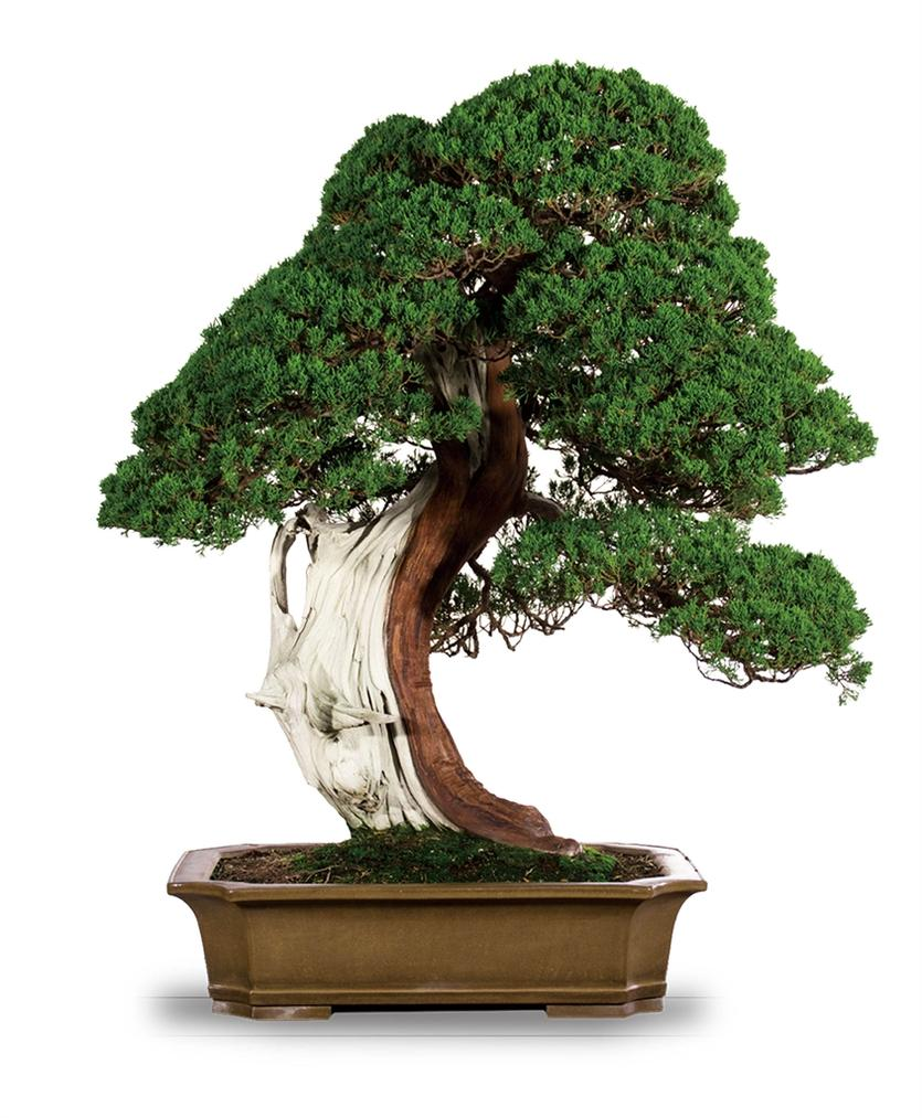 Juniperus Chinensis Var. Sargentii A.-