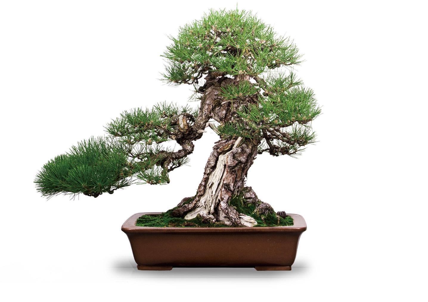Kunio Kobayashi - Pinus Thunbergii Parl-