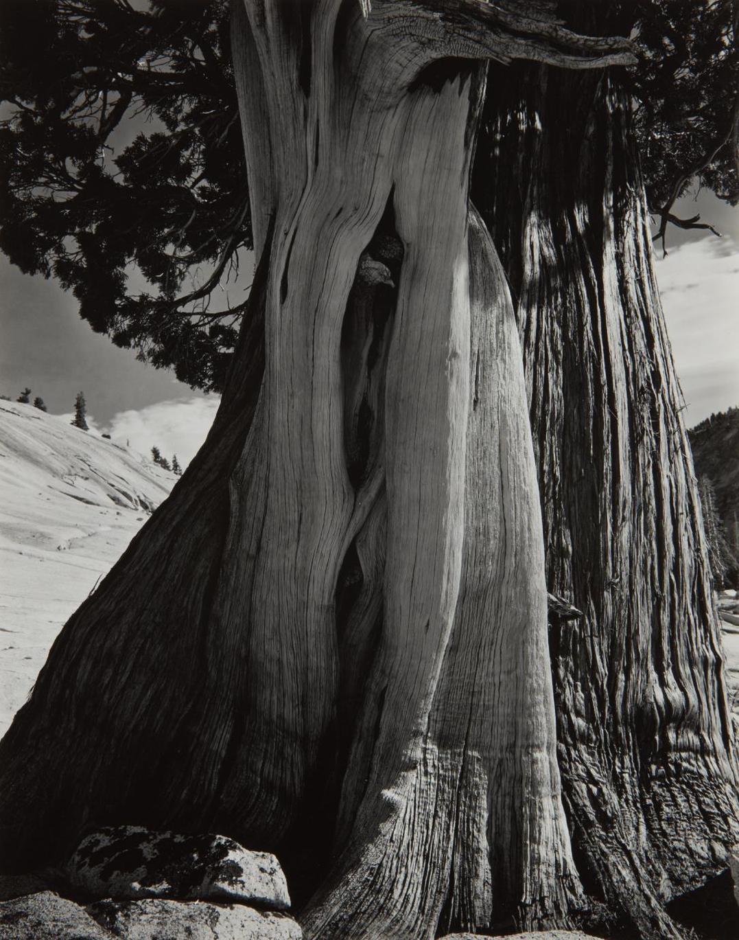 Edward Weston-Juniper, Sierra Nevada-1937