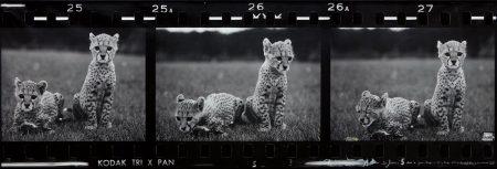 Peter Beard-Orphaned Cheetah Cubs (Last Word From Paradise), Mweiga Park Headquarters, Near Nyeri, Kenya-1968