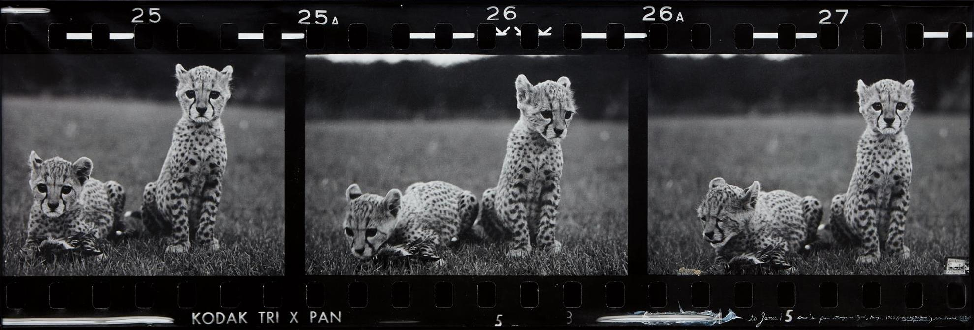 Peter Beard-Orphaned Cheetah Cubs (Last Word From Paradise), Mweiga Park Headquarters, Near Nyeri, Kenya-1968
