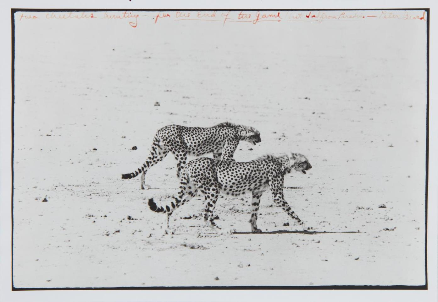 Peter Beard-Two Cheetahs Hunting For The End Of The Game/Last Word From Paradise-1960