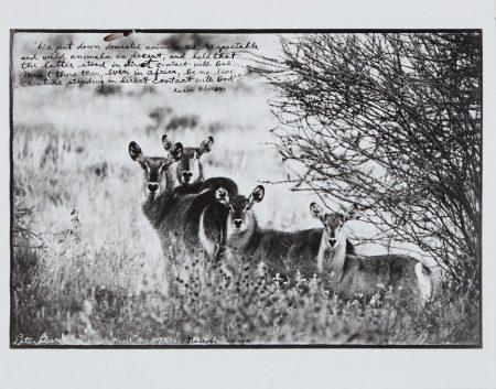 Peter Beard-Waterbuck Family On The Uaso Nyiro-1968