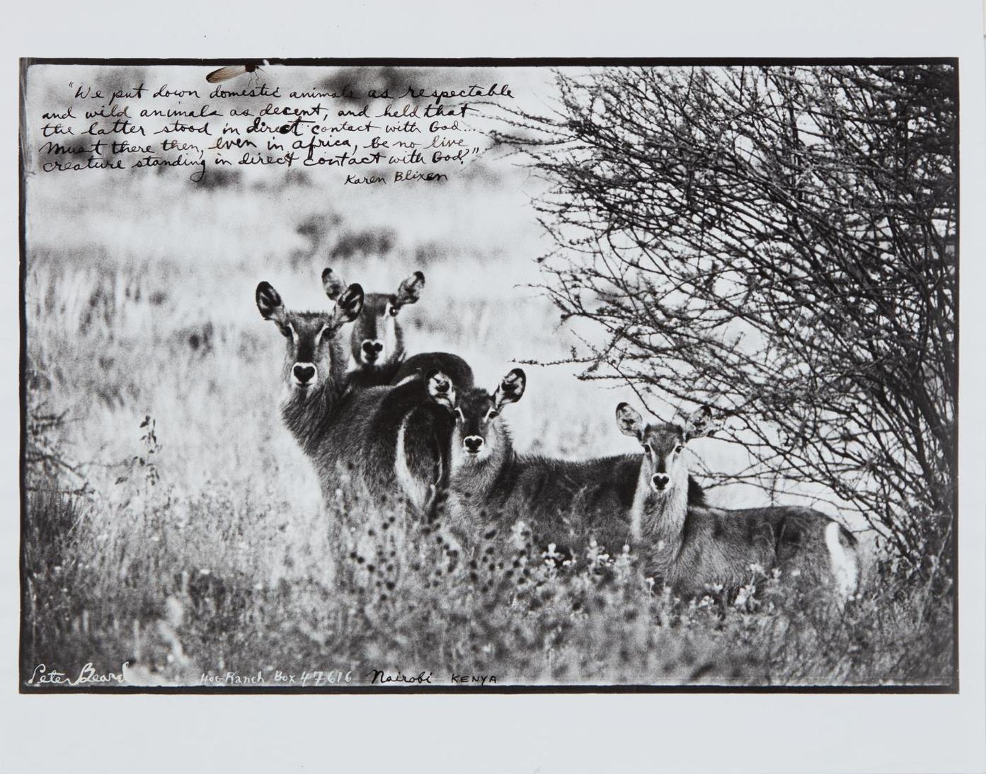 Peter Beard-Waterbuck Family On The Uaso Nyiro-1968