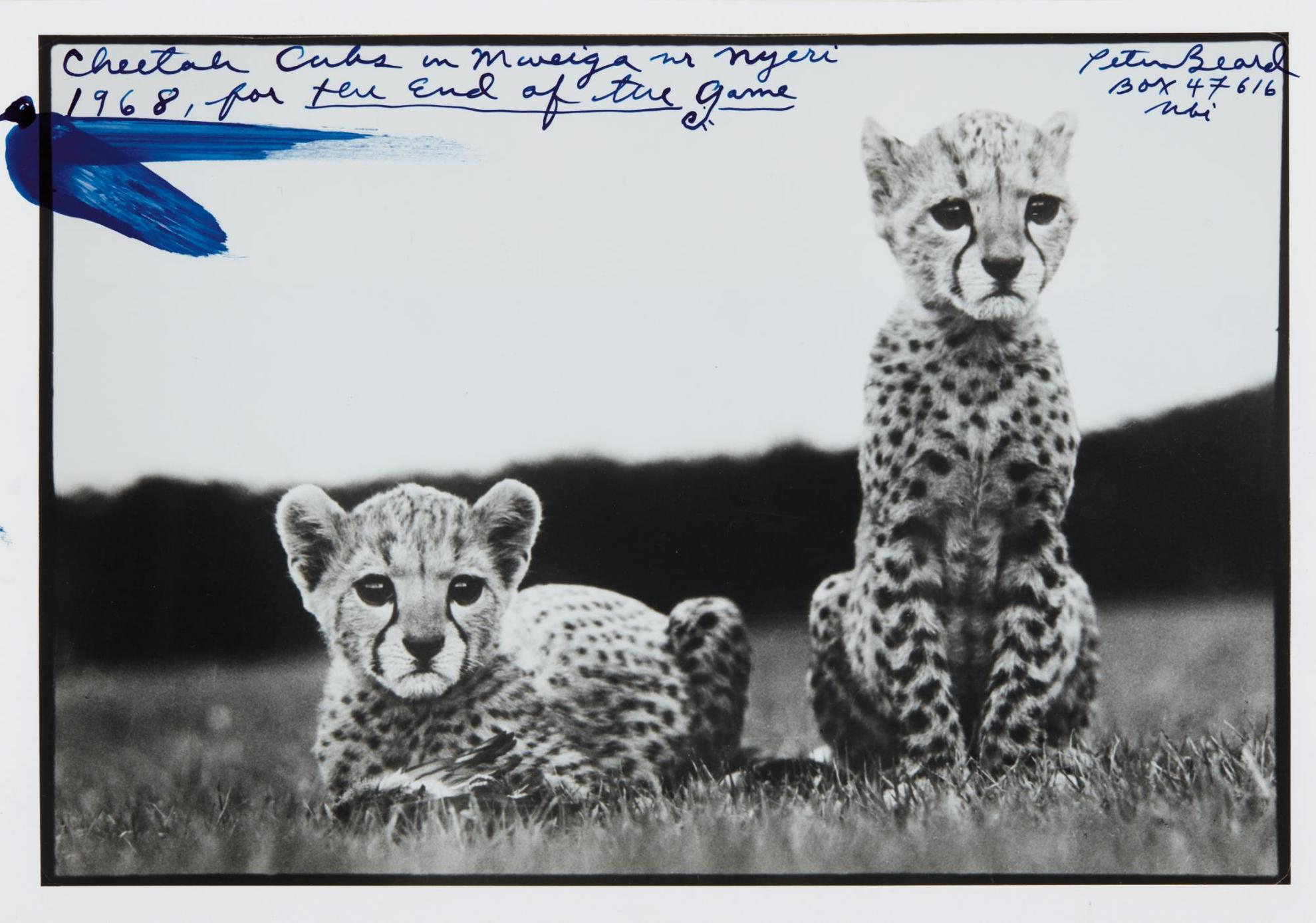 Peter Beard-Cheetah Cubs In Mweiga In Nyeri For The End Of The Game-1968
