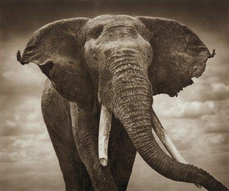 Nick Brandt-Elephant With Tattered Ears, Amboseli-2008