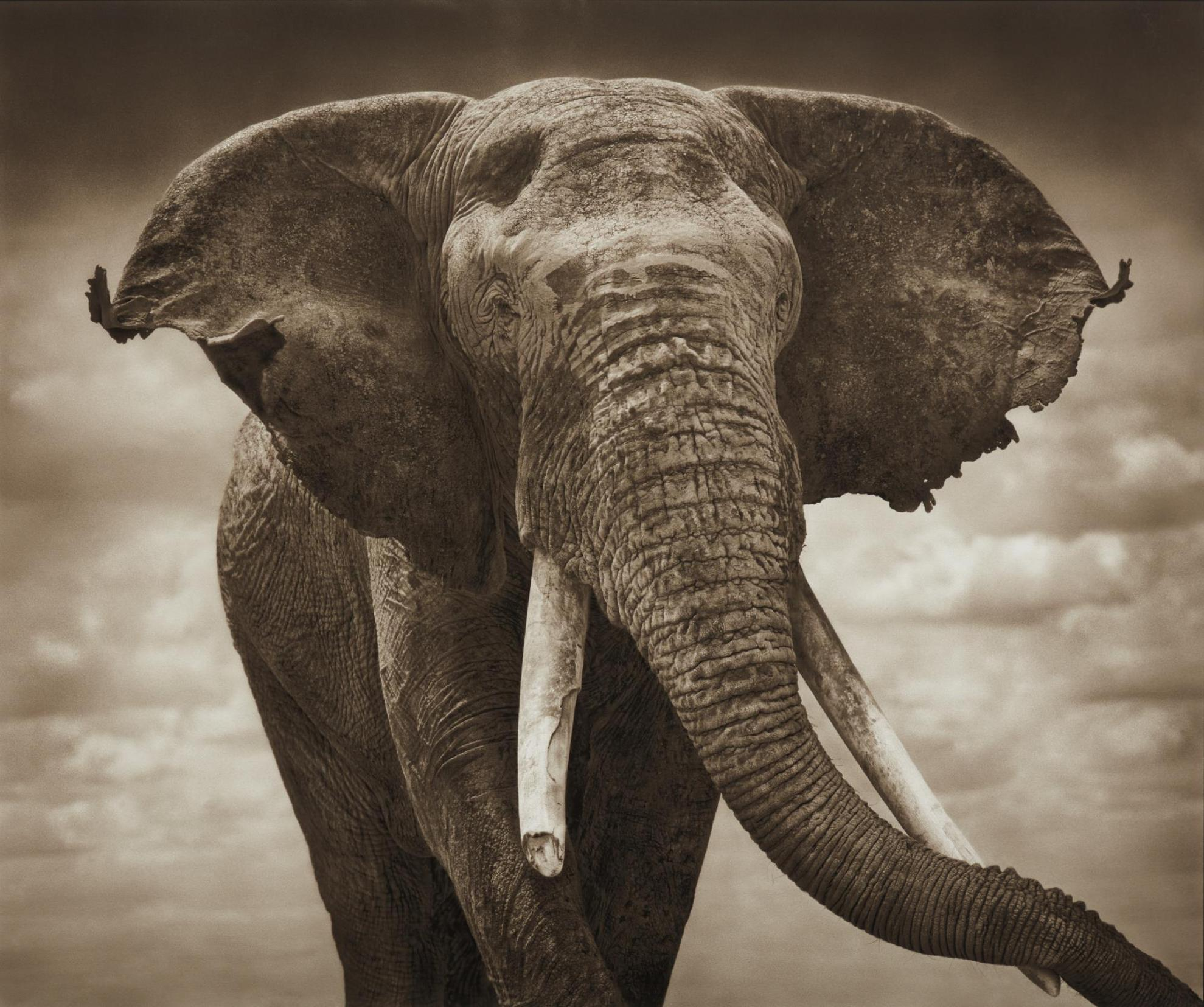 Nick Brandt-Elephant With Tattered Ears, Amboseli-2008