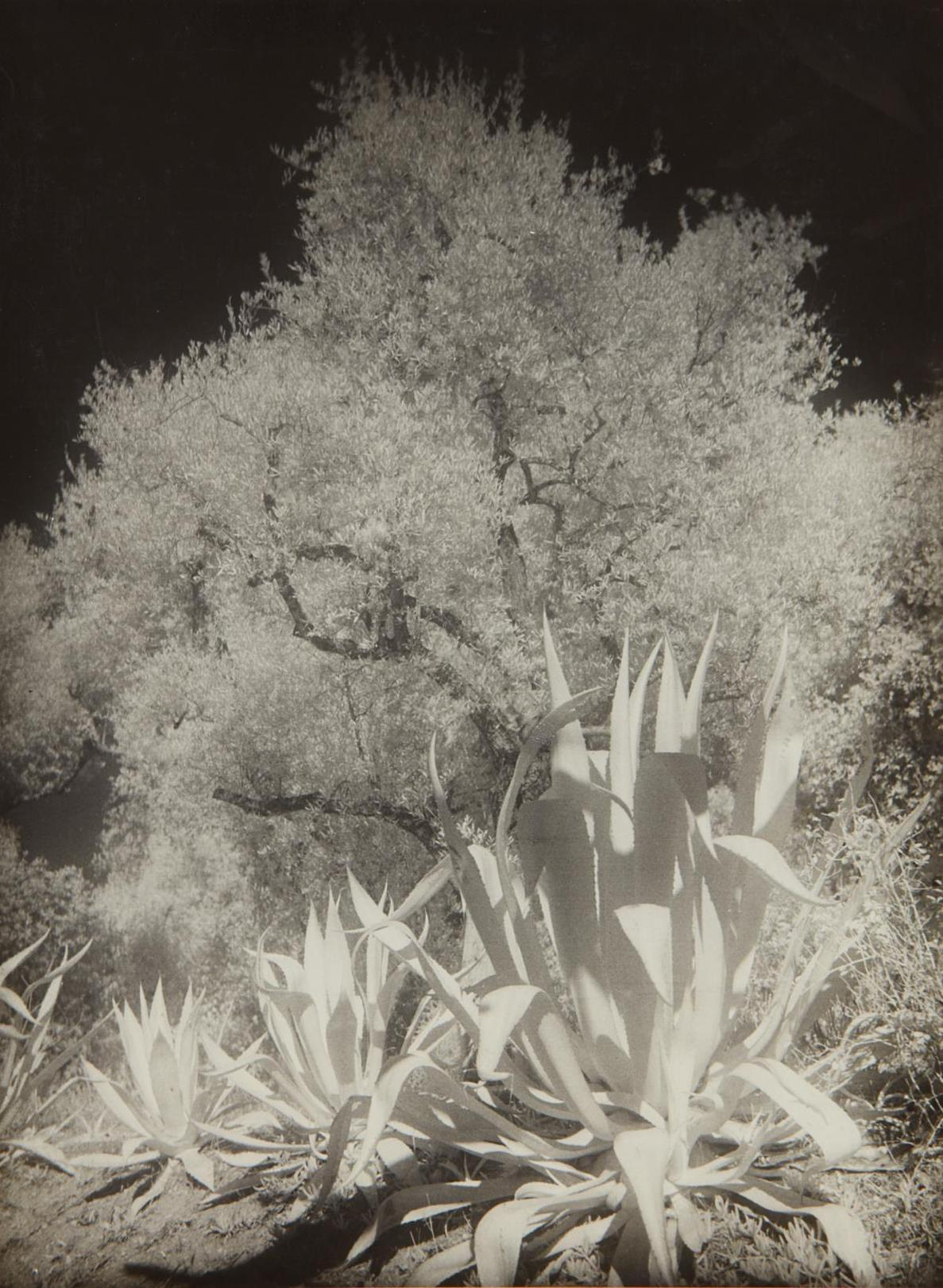 Maurice Tabard-Oliviers Et Agaves, Infra-Rouge No. II-1934