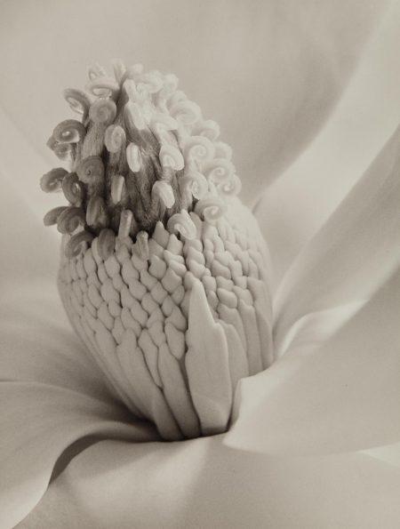Imogen Cunningham-Magnolia Blossom (Tower Of Jewels)-1925