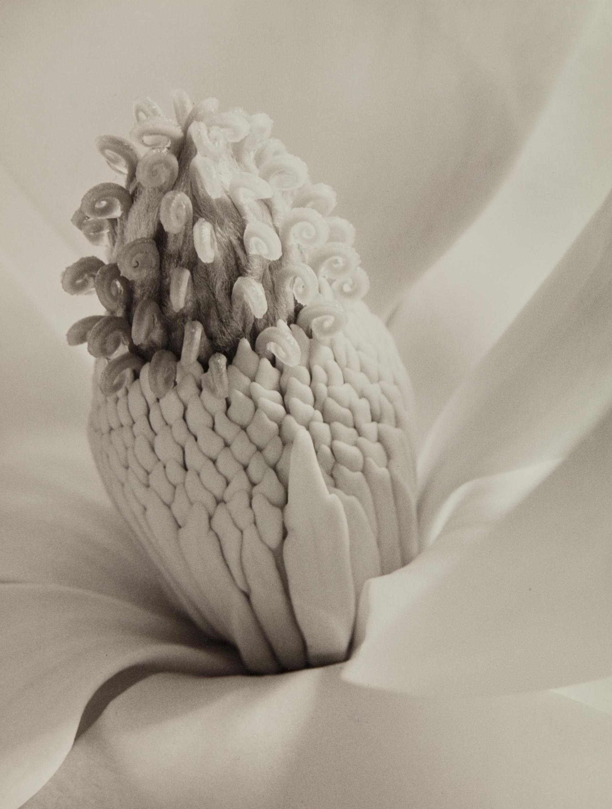 Imogen Cunningham-Magnolia Blossom (Tower Of Jewels)-1925