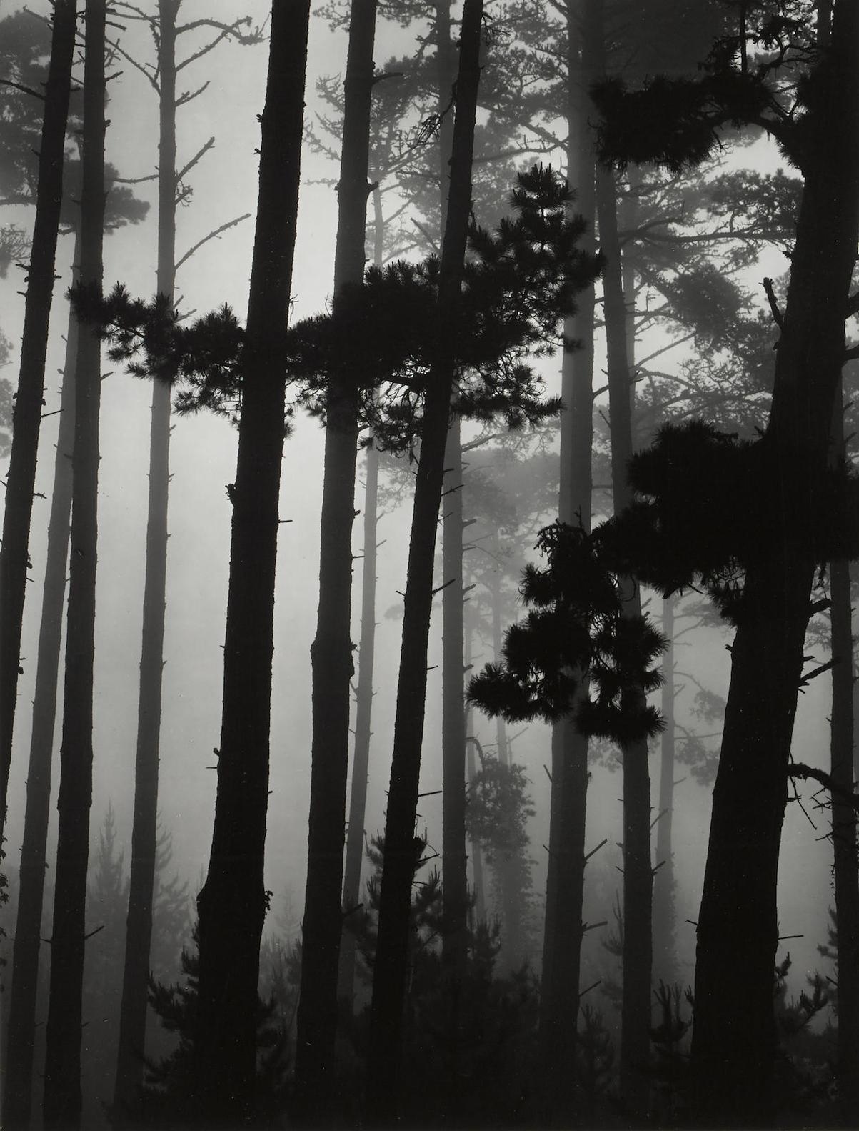 Brett Weston-Monterey Pine And Fog, California-1962
