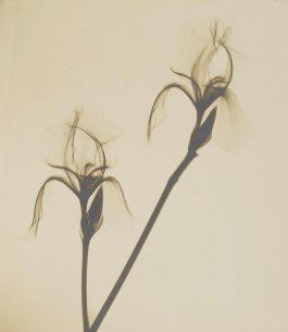 Dr. Dain L. Tasker-Bearded Iris-1930