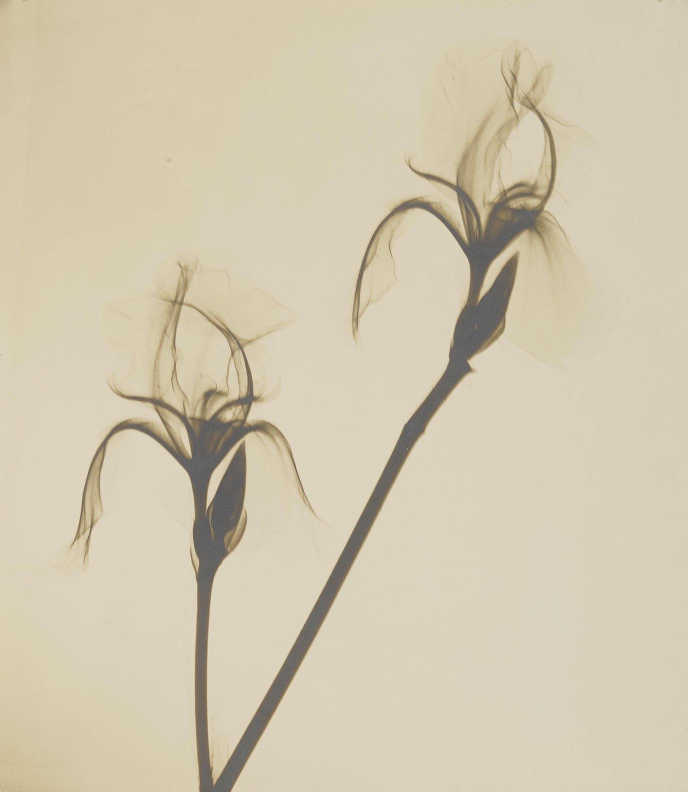 Dr. Dain L Tasker - Bearded Iris-1930