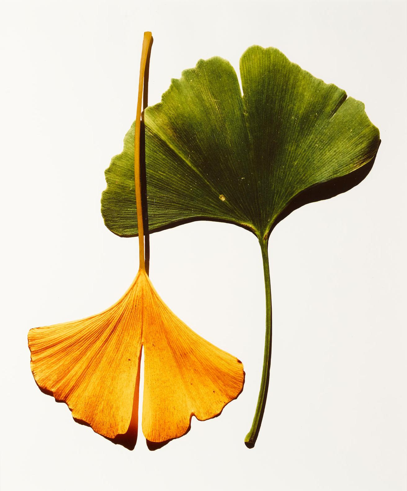 Irving Penn-Ginkgo Leaves (New York)-1990