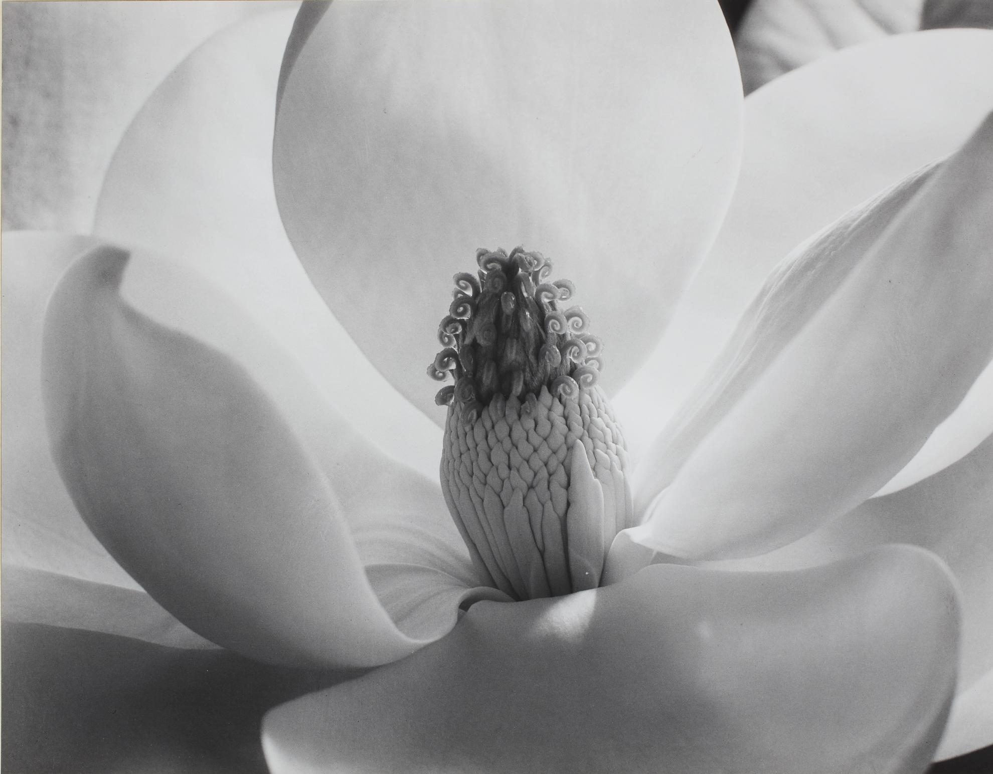 Imogen Cunningham-The Magnolia Blossom-1925