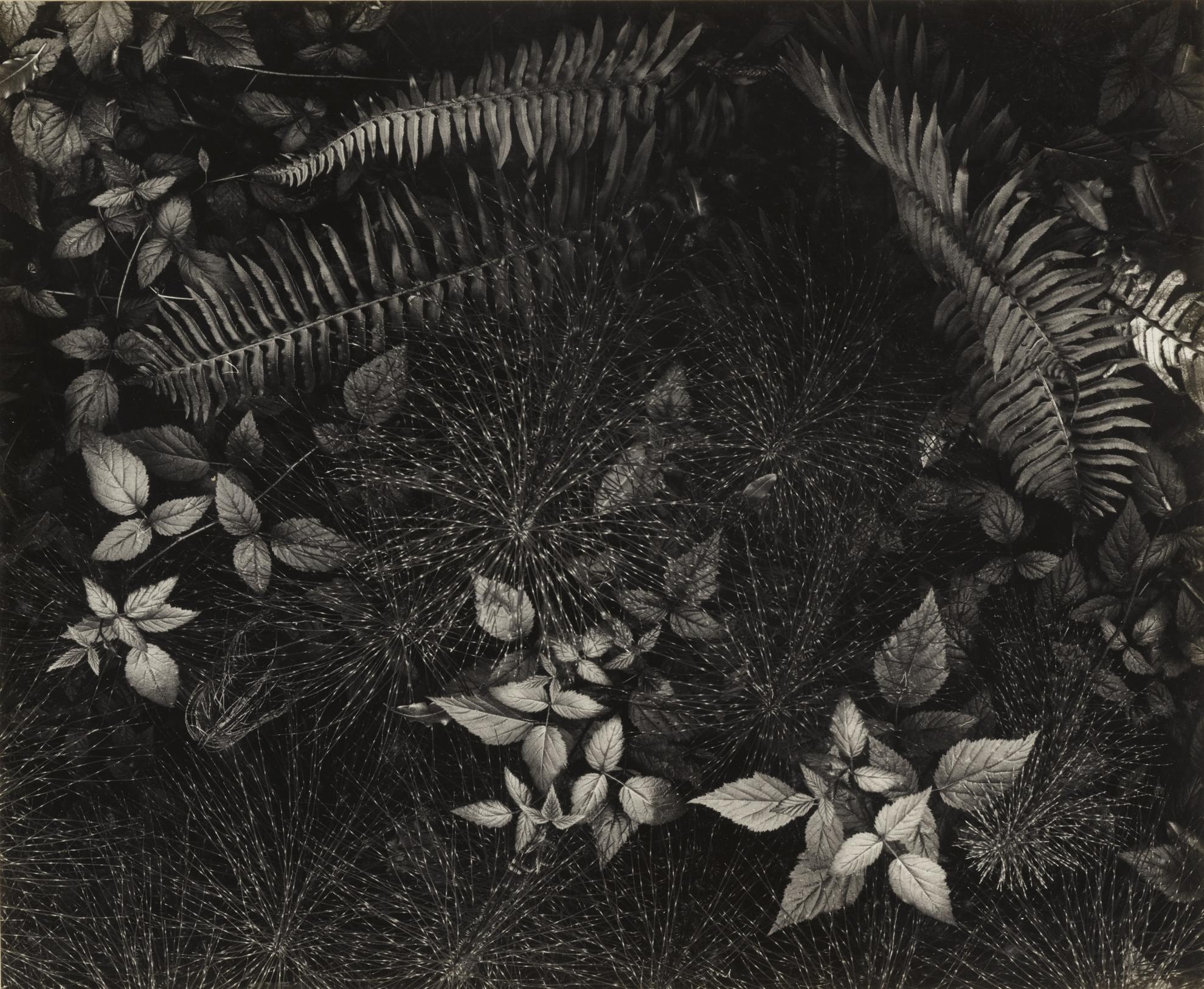 Ansel Adams-Leaves Mills College Campus, Oakland Ca-1931