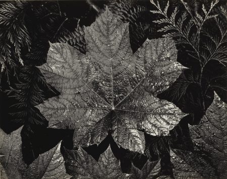 Ansel Adams-Leaves Glacier National Park Montana-1942