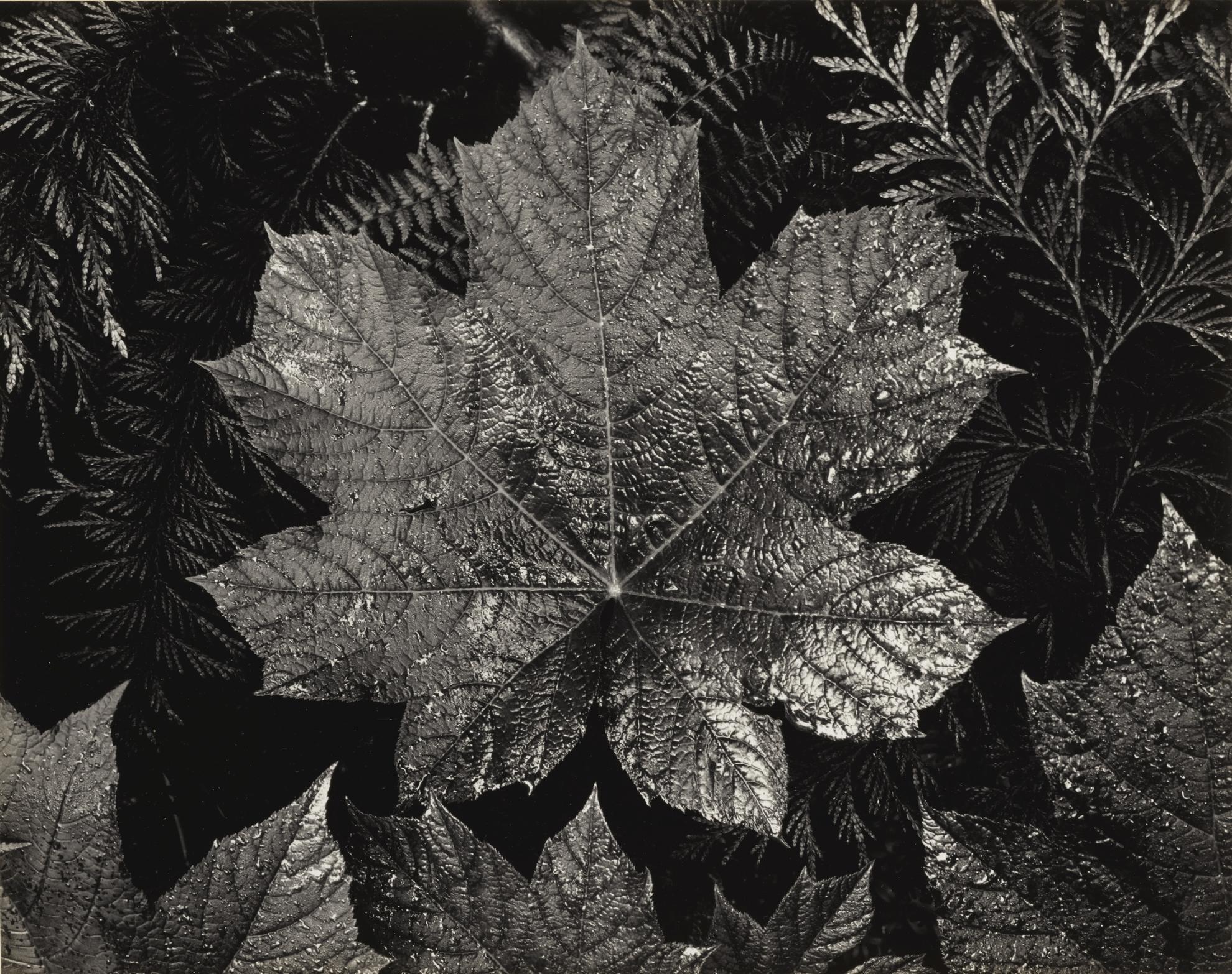 Ansel Adams-Leaves Glacier National Park Montana-1942