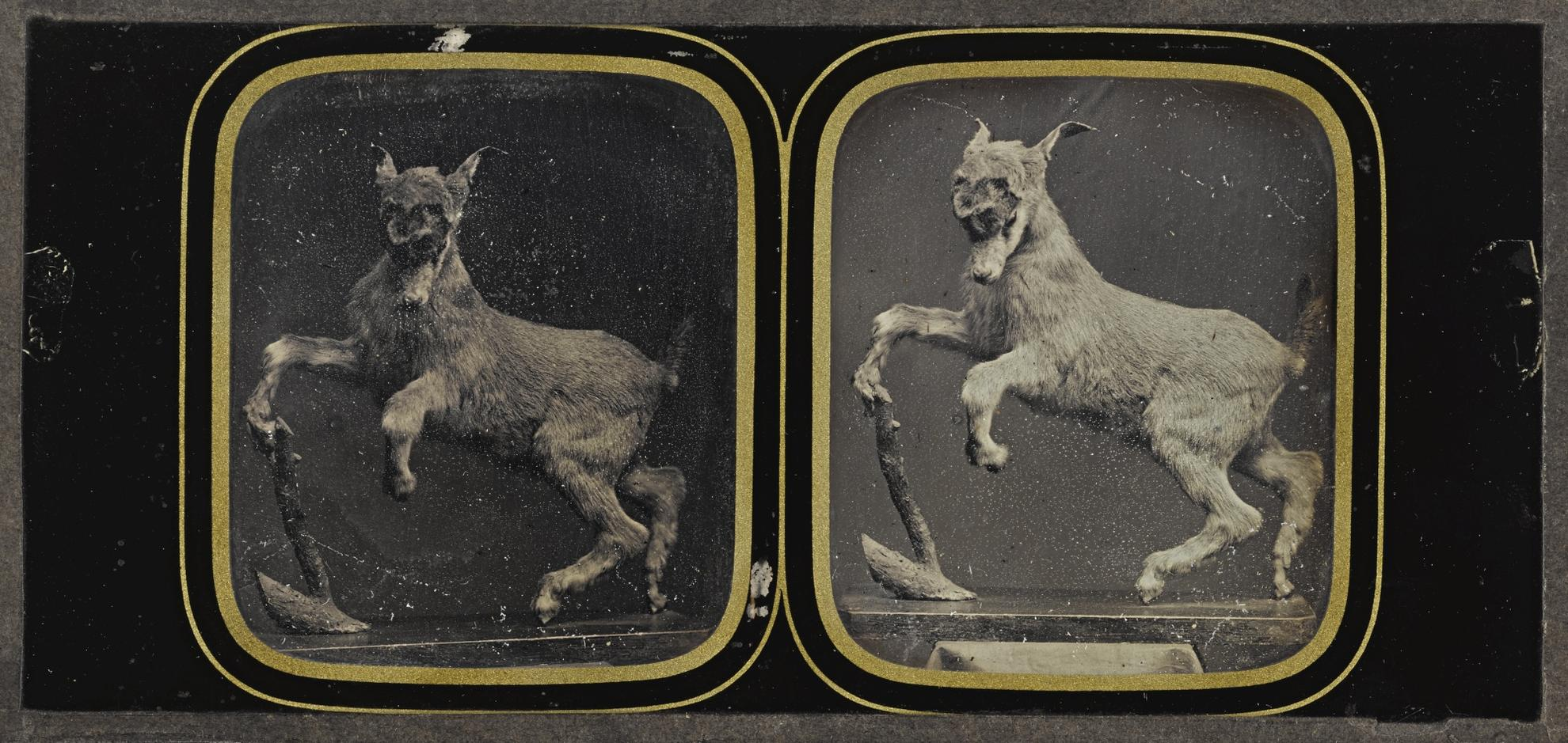 Attributed To Louis Jules Duboscq - Taxidermy Goat Display-1855