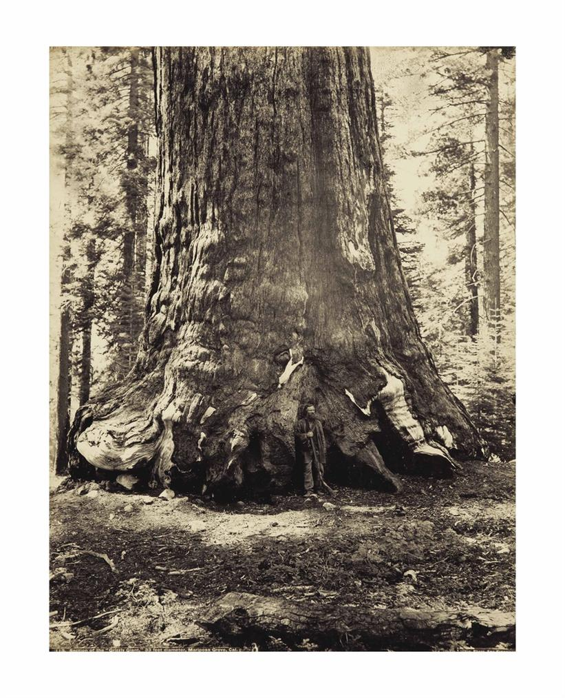 Carleton E. Watkins-Section Of The Grizzly Giant, 33 Feet Diameter, With Galen Clark, Mariposa Grove, California-1866