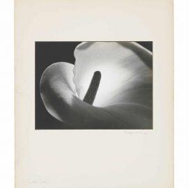 Johan Hagemeyer-Calla Lily-1925