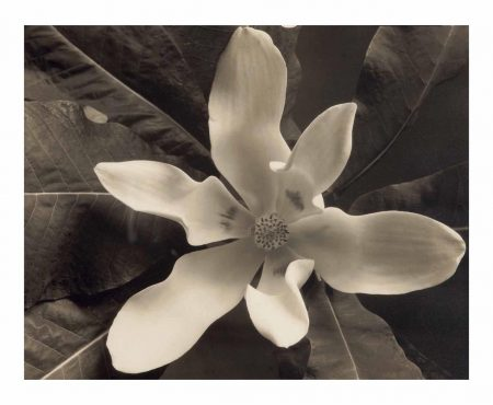 Edward Steichen-Magnolia Blossom, Voulangis-1921