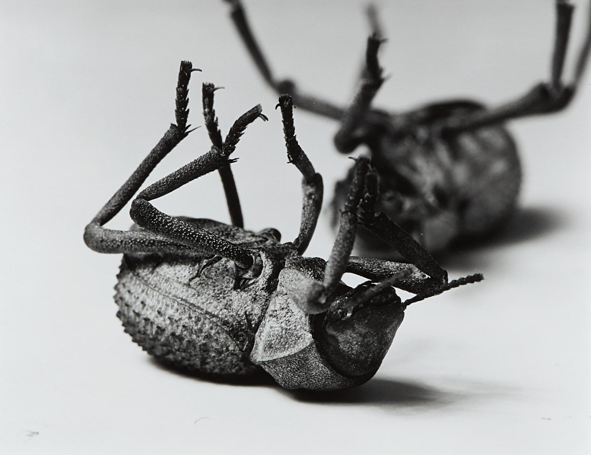 Christopher Williams-Tenebrionidae Asbolus Verrucosus Death Feigning Beetle Silverlake, California October 1, 1996-1996