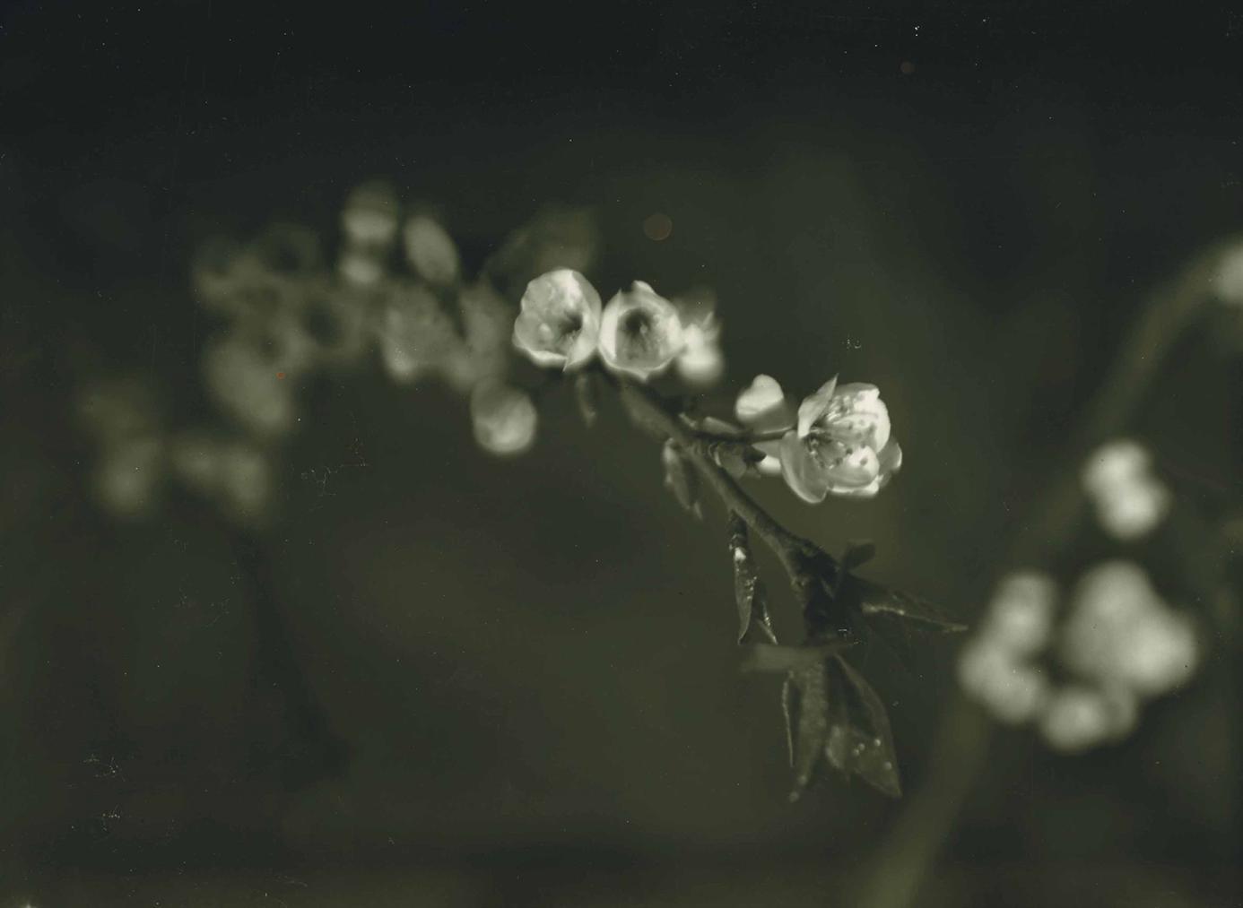 Josef Sudek-Spring Blossoms, Prague-1968