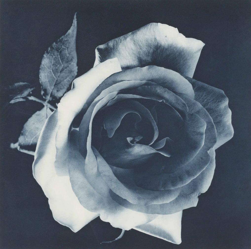 Robert Mapplethorpe-Blue Rose-1988