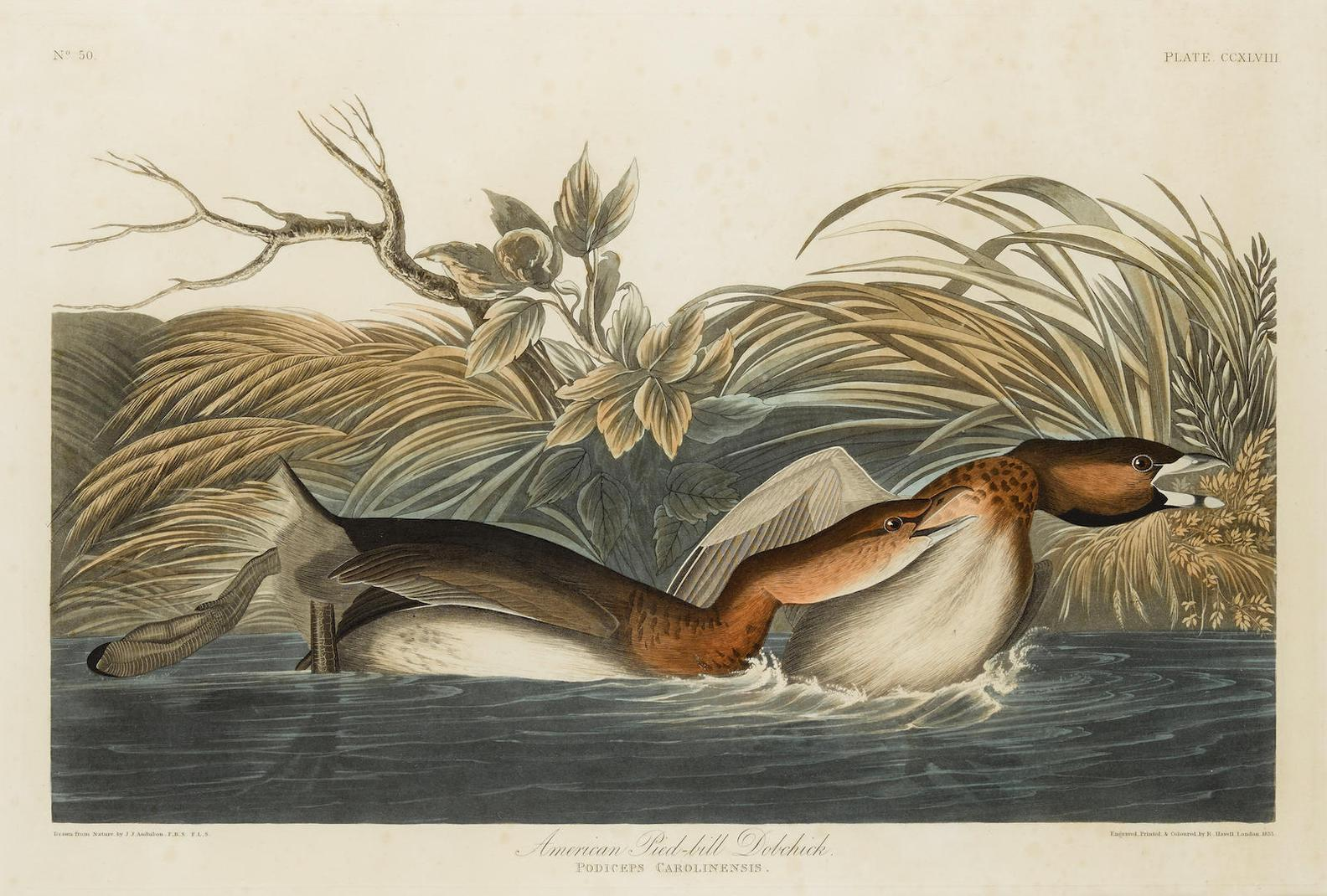 After John James Audubon - American Pied-Bill Dobchick (Pl. CCXLVIII)-1855