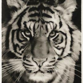 Robert Longo-Study For White Tiger-2011