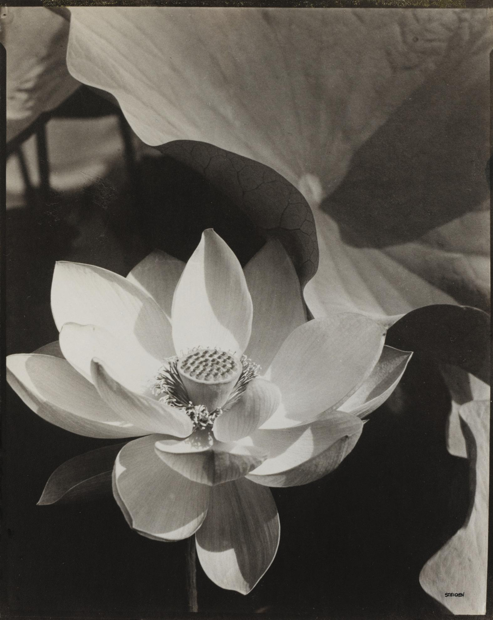 Edward Steichen 1879 - 1973 - Lotus, Mount Kisco, New York, 1915-1915