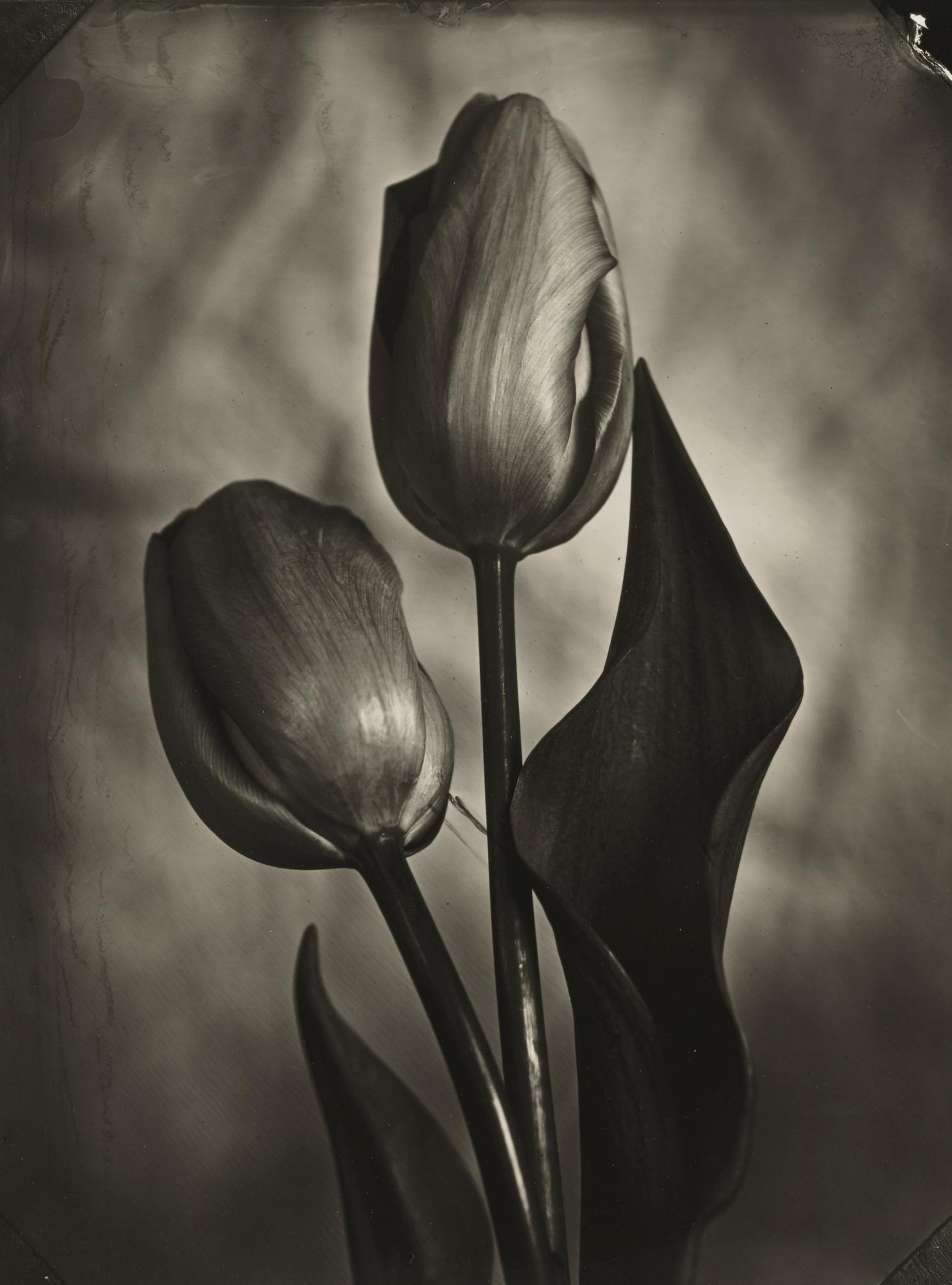 Tom Baril-Tulips-2002