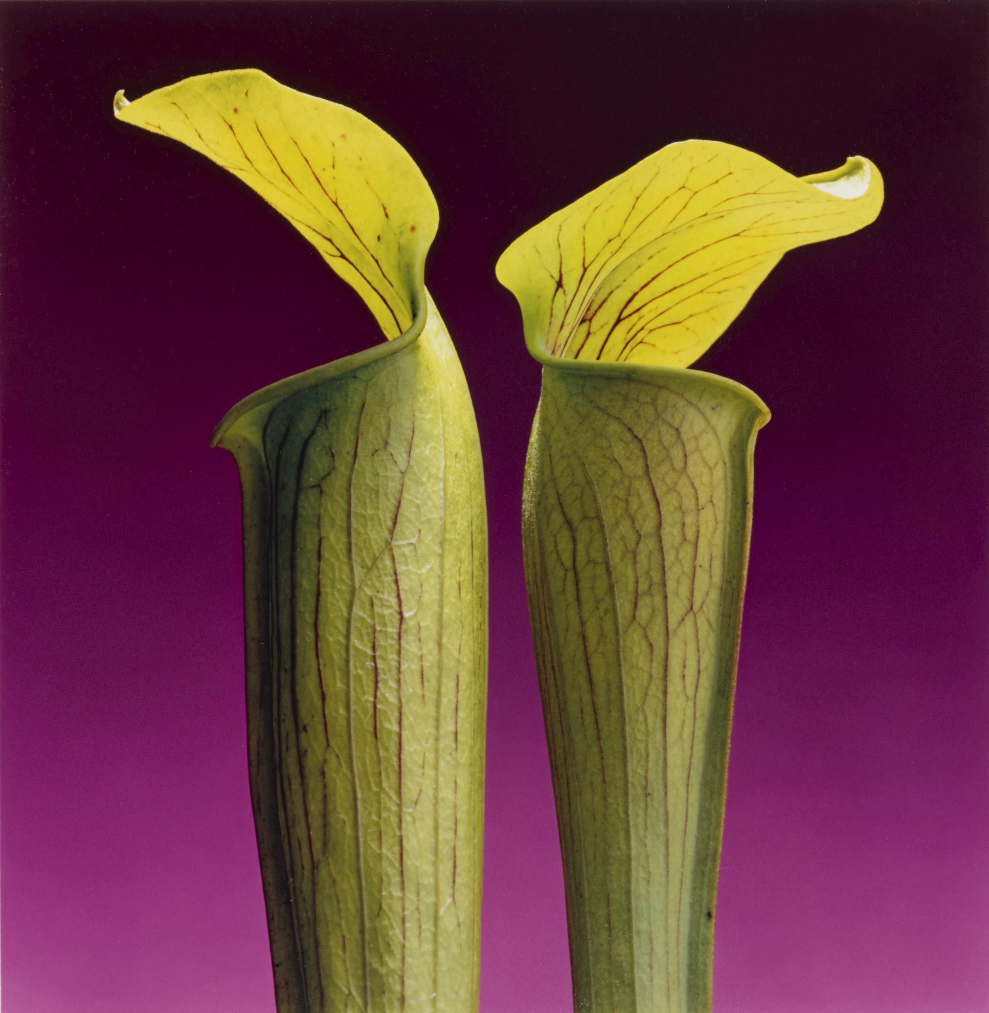 Robert Mapplethorpe-Double Jack In The Pulpit-1988