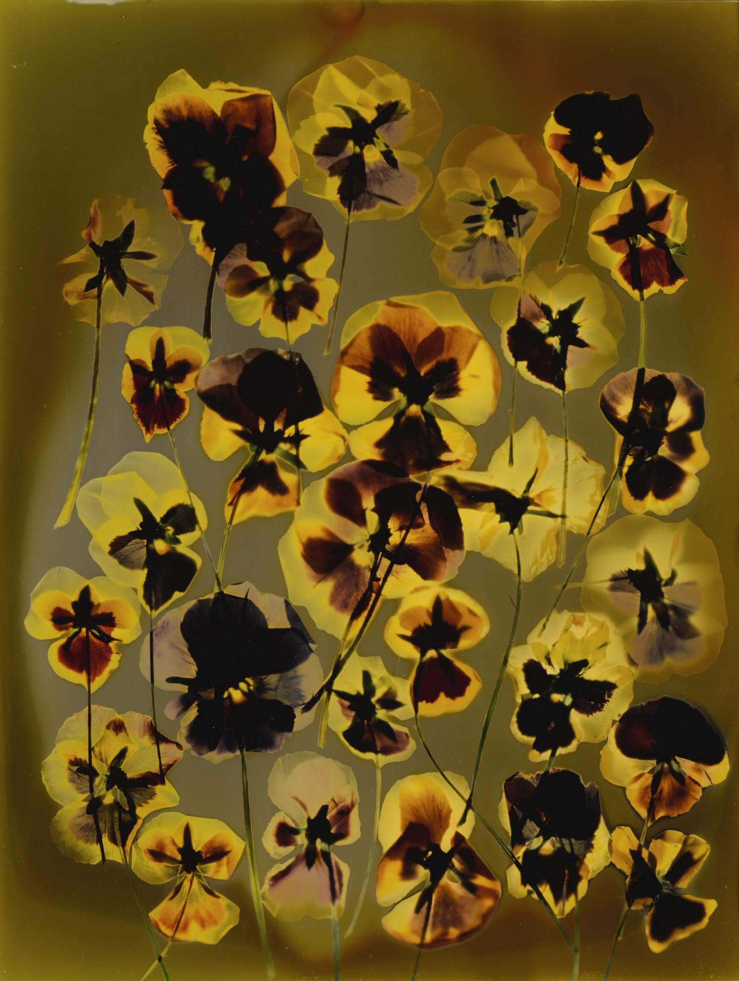 Adam Fuss-Untitled (Pansies)-1992