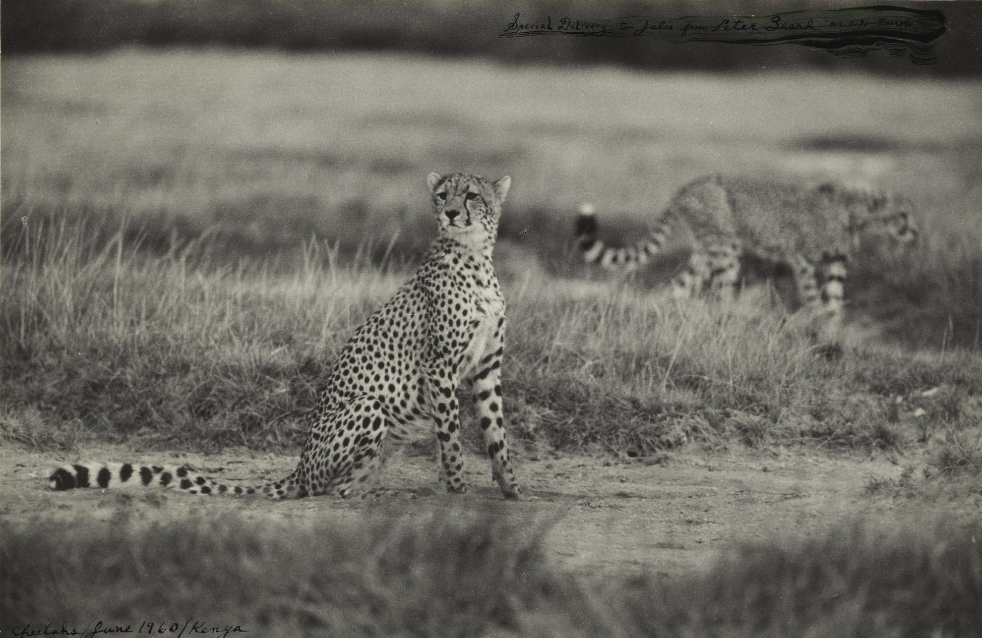 Peter Beard-Two Cheetahs-1960