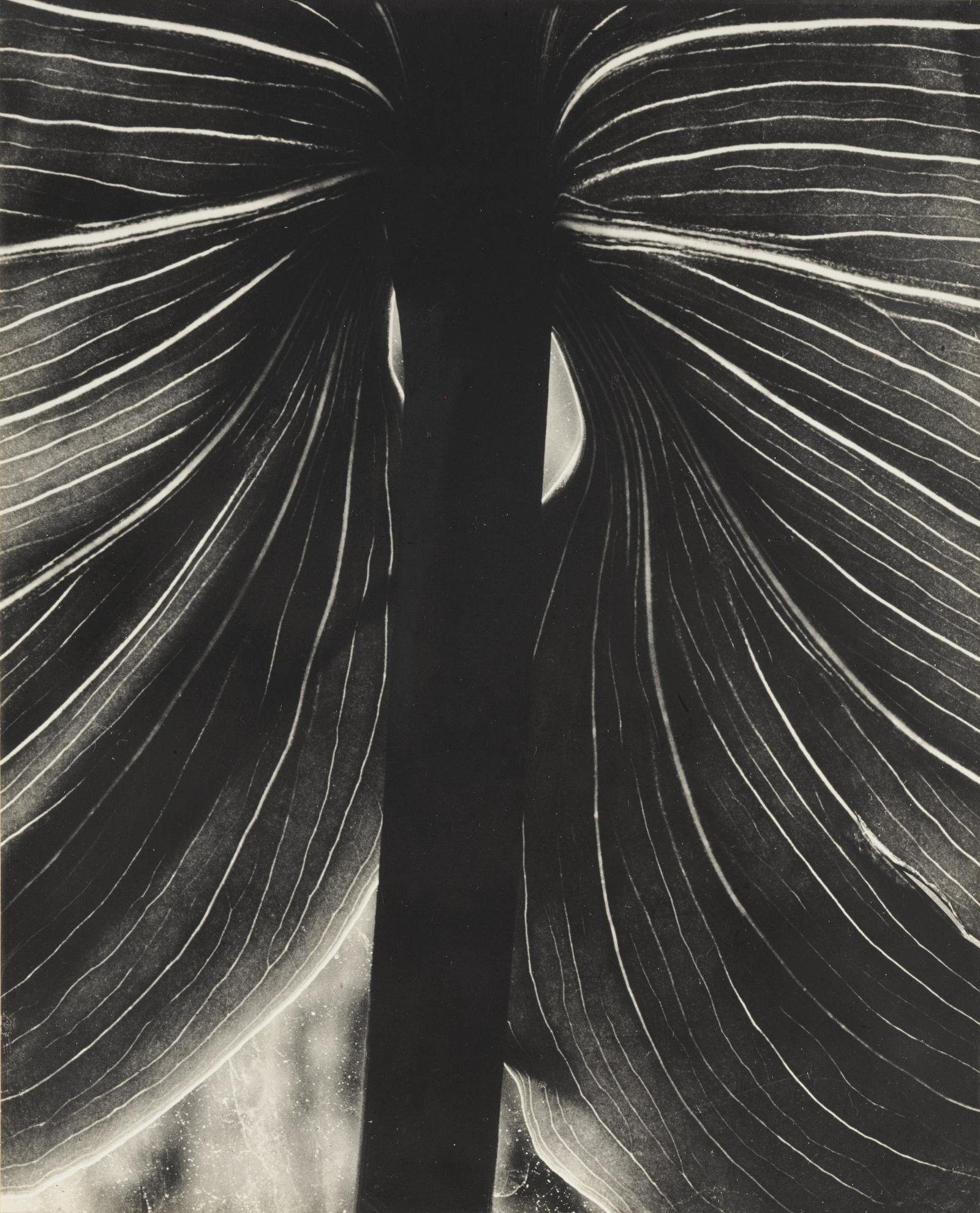 Brett Weston-Untitled (Lily Leaf, Carmel)-1929