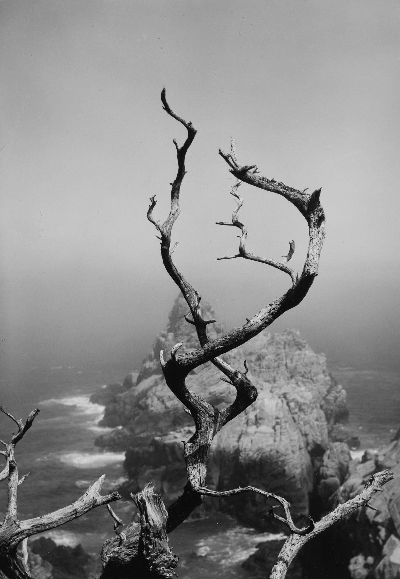 Minor White-Point Lobos, California (Twisted Tree)-1951