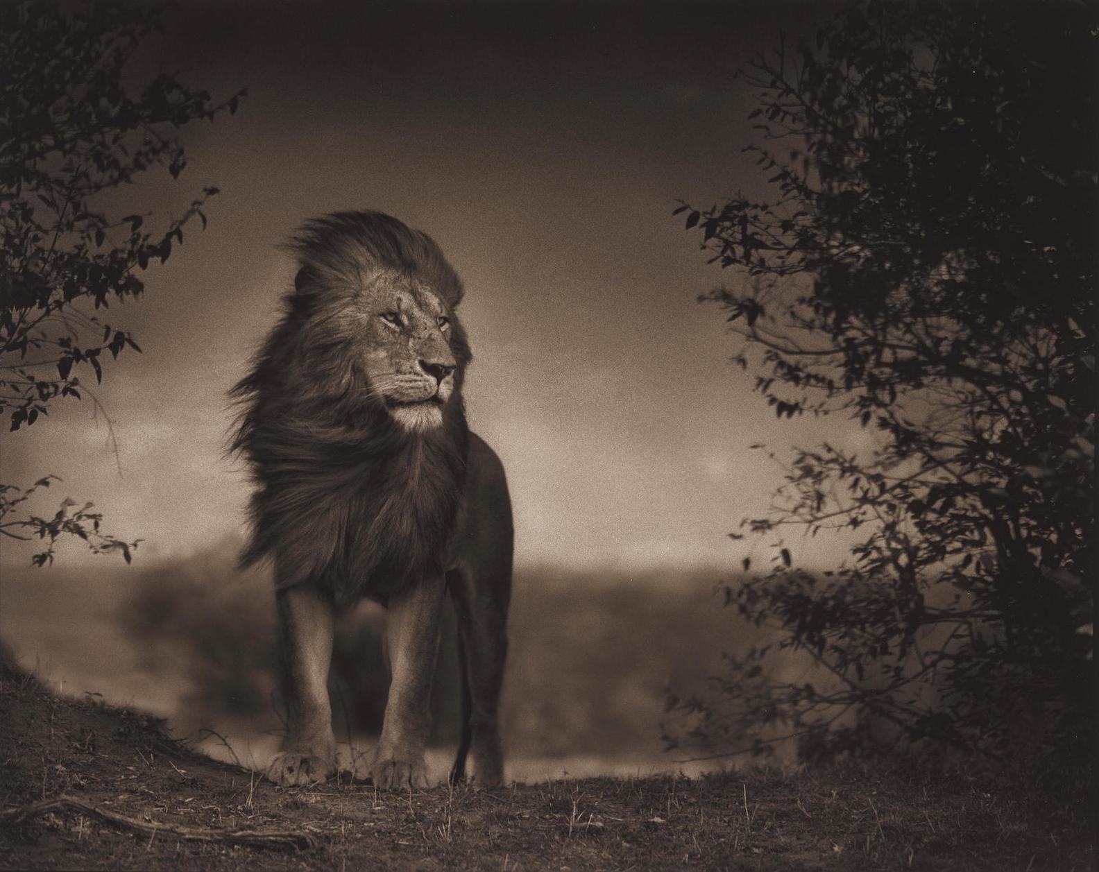 Nick Brandt-Lion Before Storm I, Masai Mara-2006