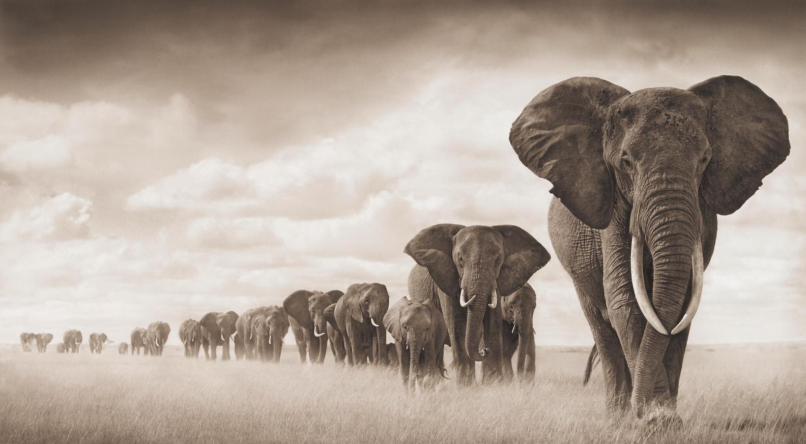 Nick Brandt-Elephants Walking Through Grass, Ambroseli-2008