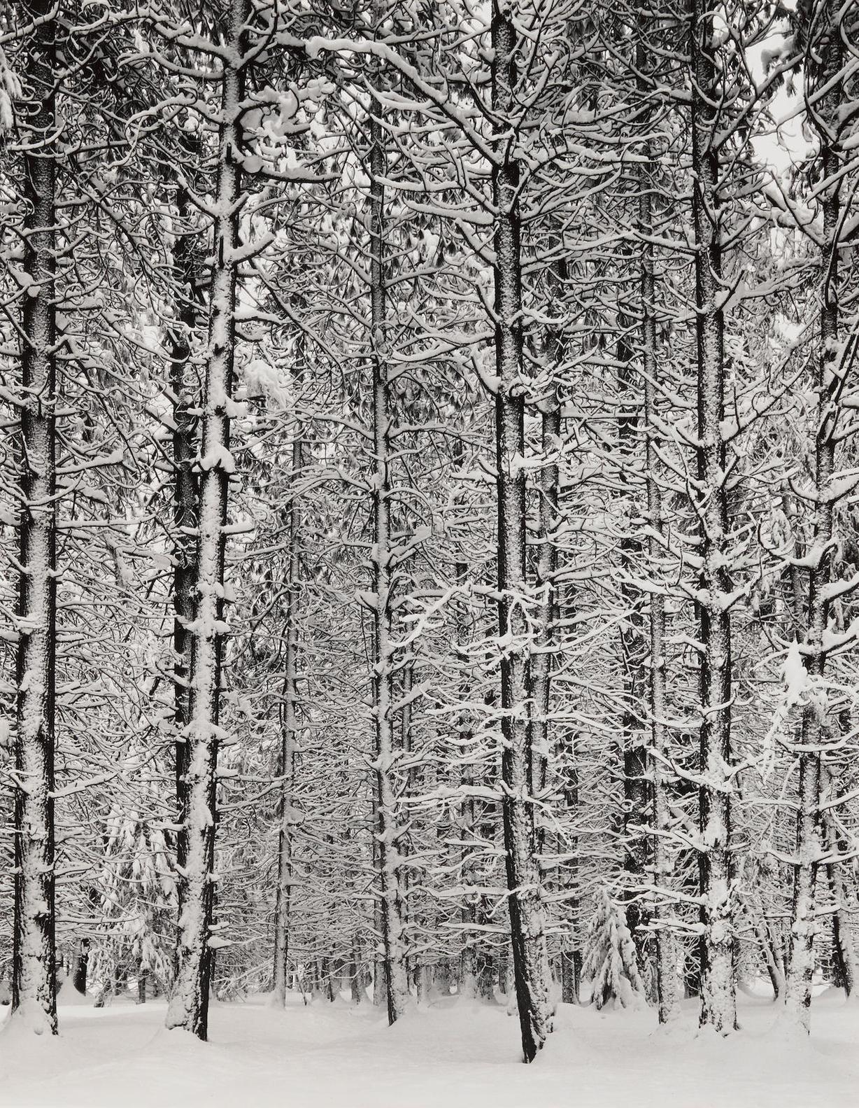 Ansel Adams-Trees And Snow, Yosemite, From Portfolio III-1932