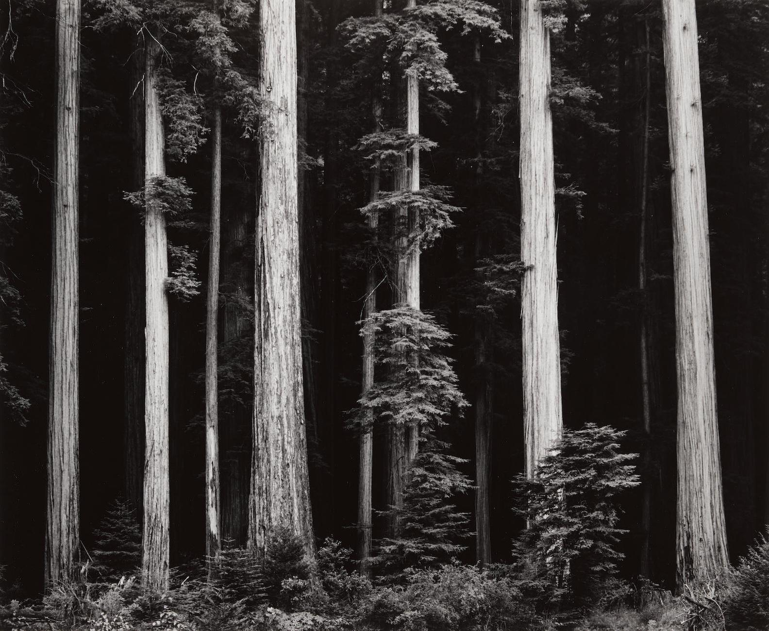Ansel Adams-Northern California Coast Redwoods, From Portfolio IV-1960