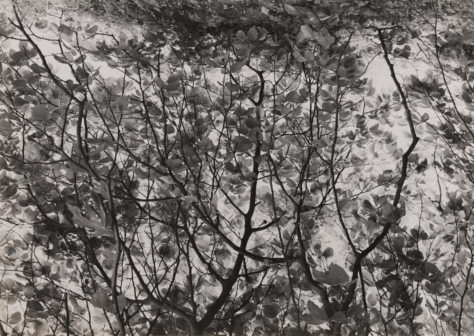 Albert Renger-Patzsch-Zweige Einer Hangebuche (Branches Of A Hanging Beech)-1957