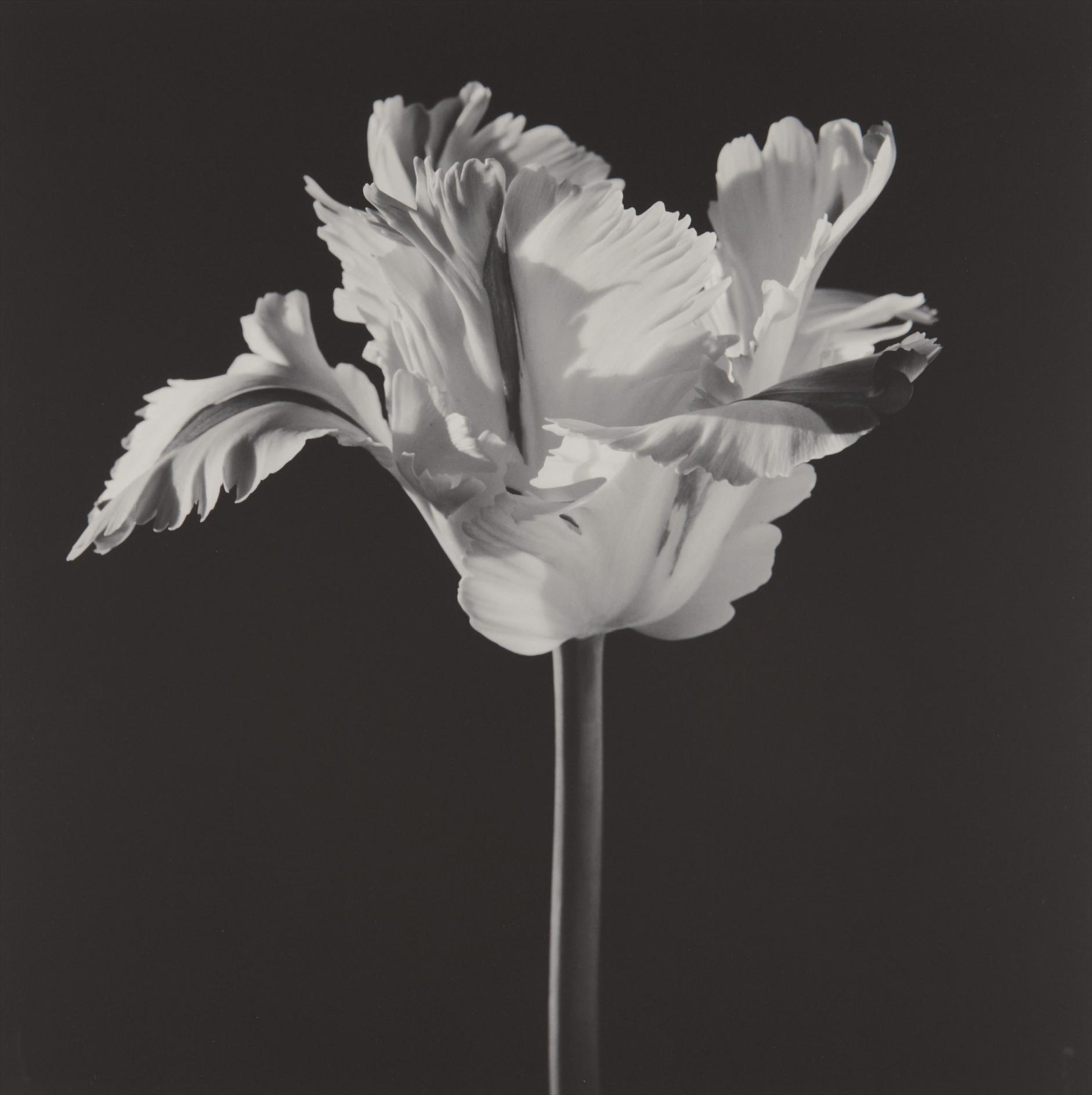 Robert Mapplethorpe-Parrot Tulip-1988