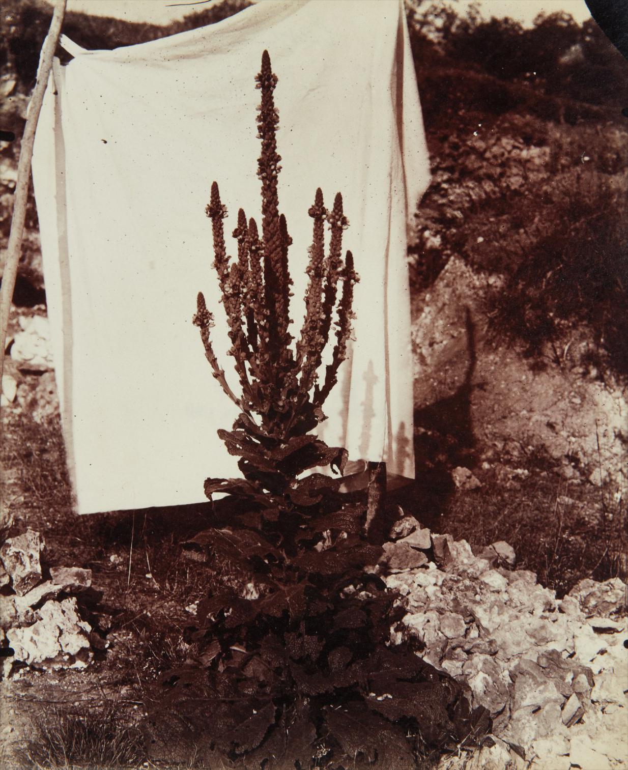 Eugene Atget-Bouillon Blanc En Fleur-1900