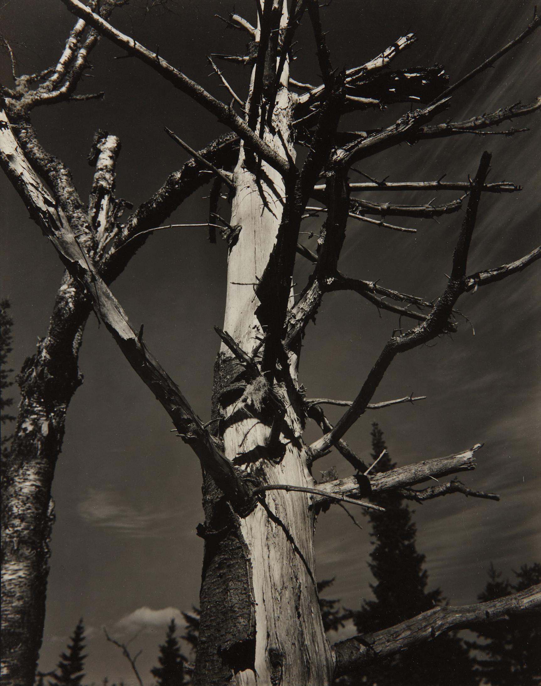Paul Strand-Dead Tree, Vermont-1945