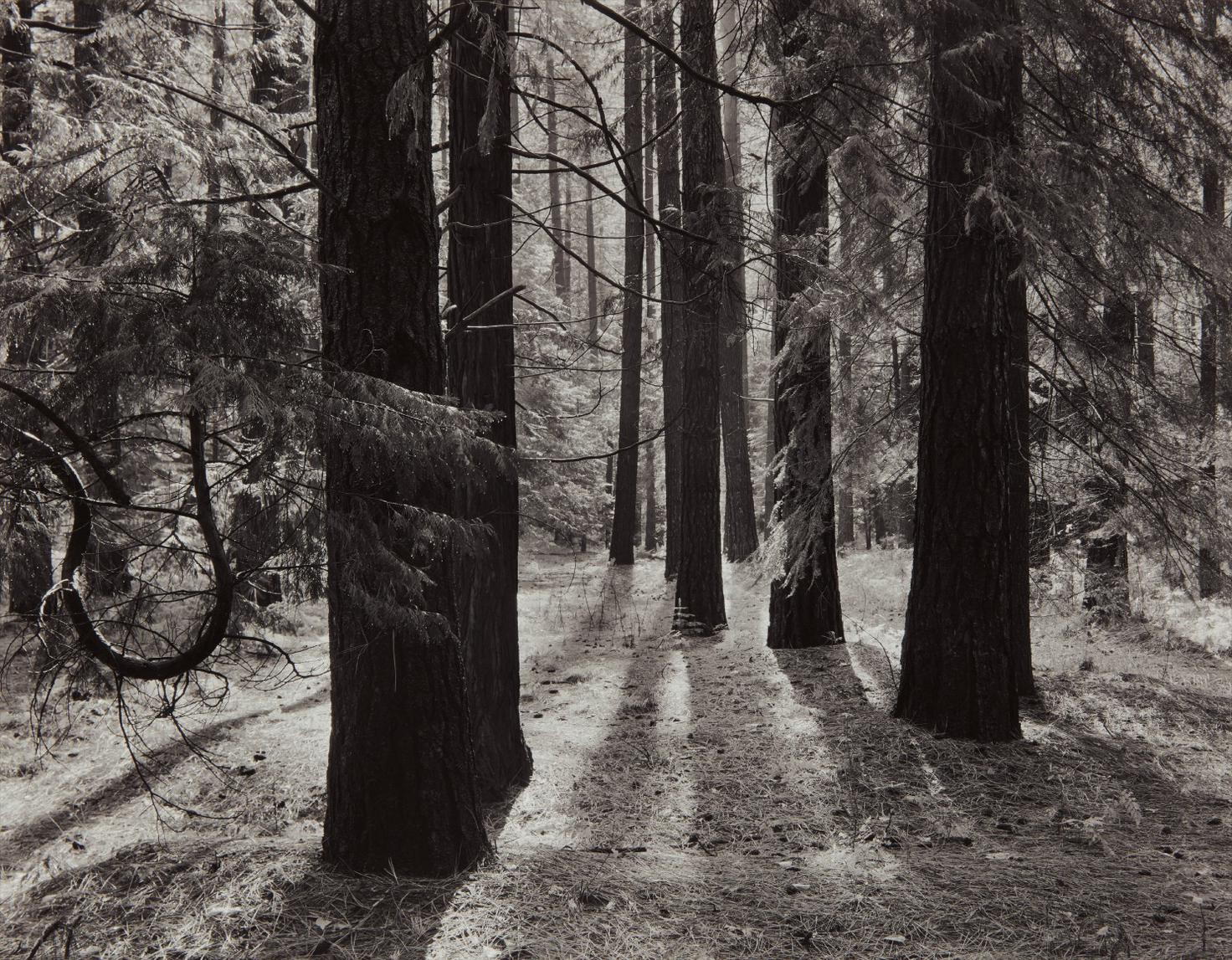 Ansel Adams-Forest Floor, Yosemite Valley, California-1950