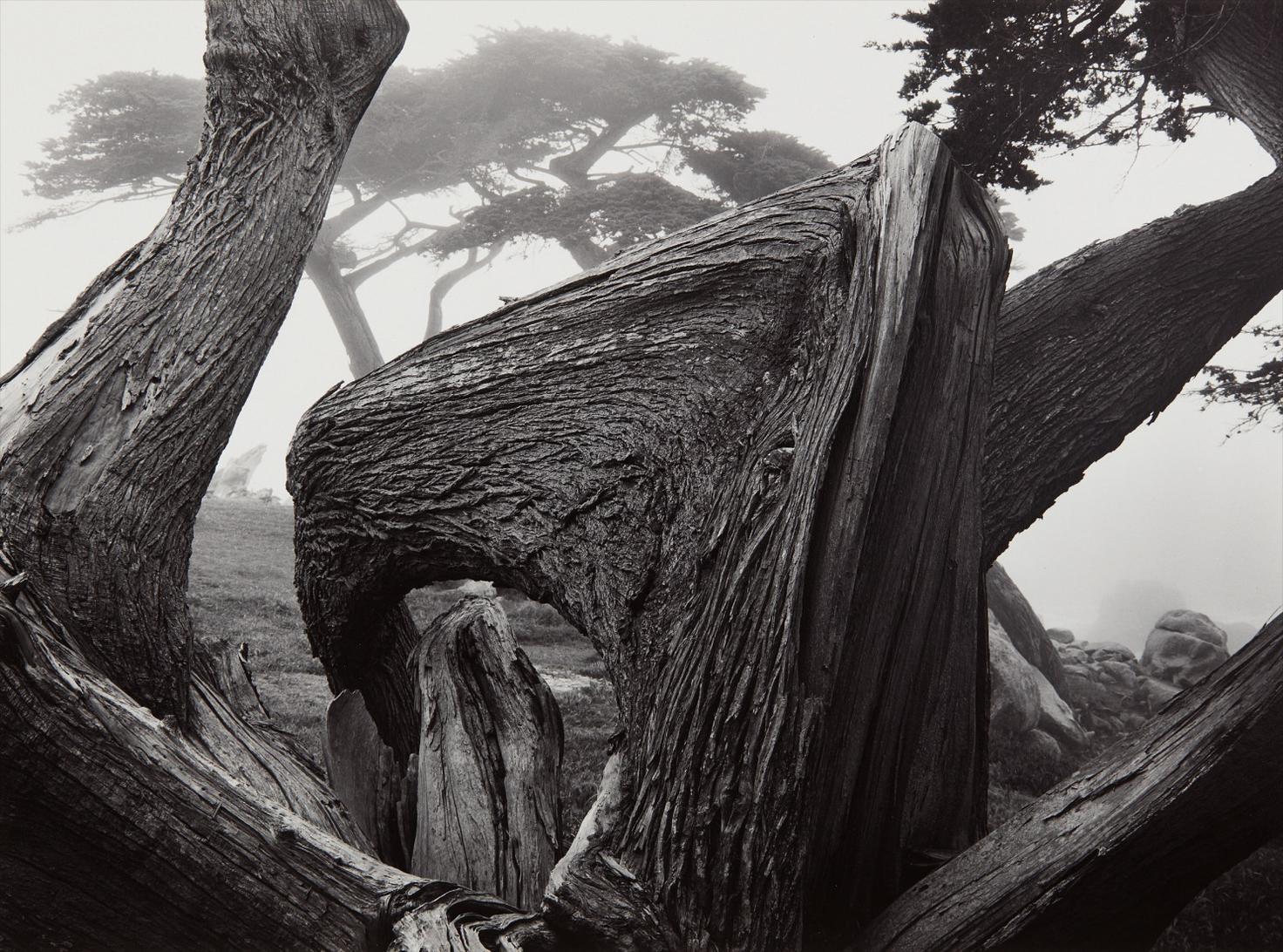 Ansel Adams-Cypress Tree In Fog, Pebble Beach, California-1967